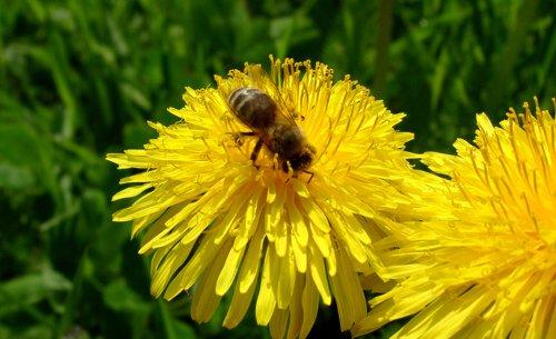 Bienenweide | selbst.de