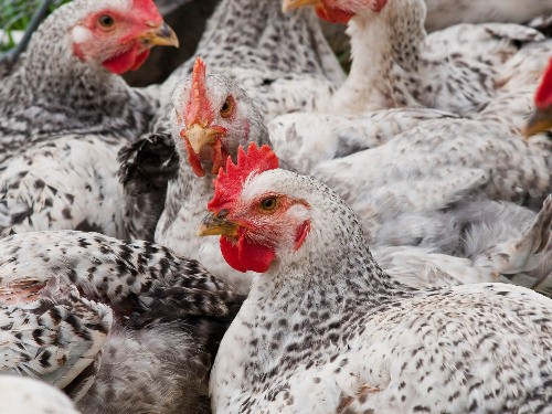 Know Your Chicken: What USDA Poultry Labels Actually Mean