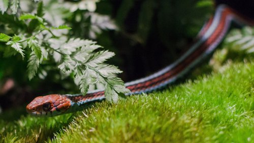 Over 1,000 Endangered (and Gorgeous) Snakes Were Recently Discovered Near SFO