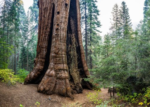 Nearly All of California's Giant Sequoias Are In 'Exceptional Drought' Areas