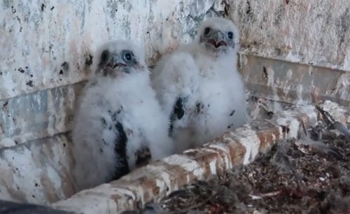 Downtown SF Peregrine Falcon Brood Remains Healthy, Four Chicks Getting Well Fed