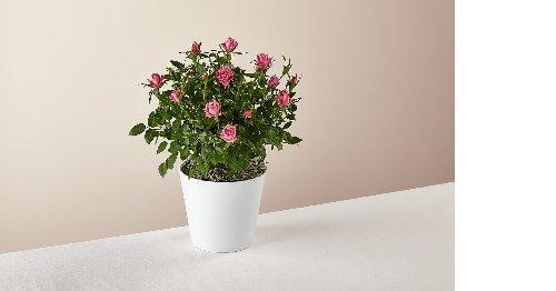 Think Pink Rose Plant