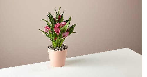 This calla lily plant is equal parts alluring and modern