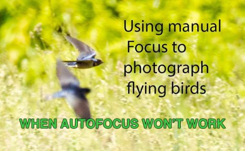 When Manual Focus Works BEST for Photos of Birds in Flight (VIDEO)