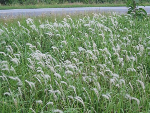'World's Worst Invasive Weed' Sold at Many U.S. Garden Centers