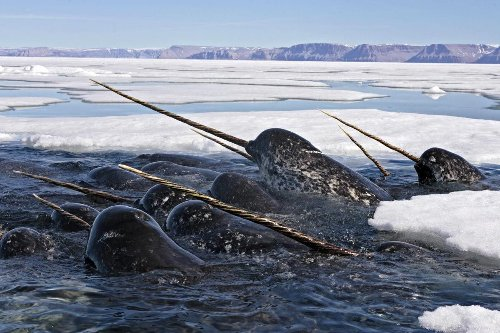 Study of Narwhal Tusks Reveals a Swiftly Changing Arctic