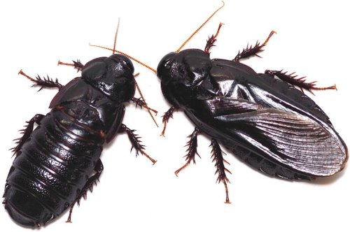 These Cockroaches Mate for Life. Their Secret? Mutual Sexual Cannibalism