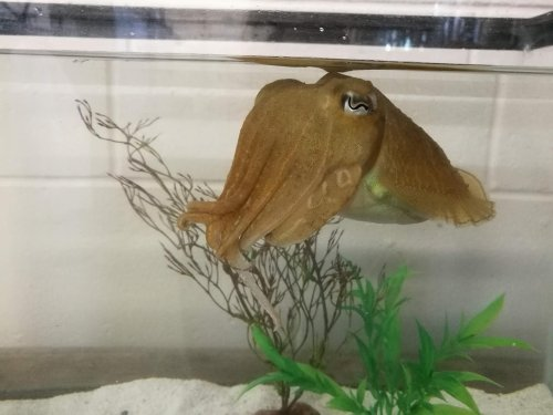 Cuttlefish Show Impressive Ability to Exert Self-Control