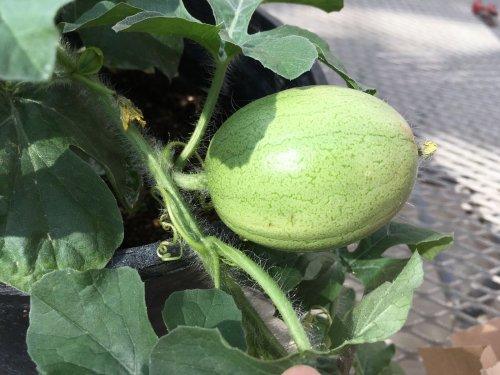 Researchers Uncover the Watermelon's Origins