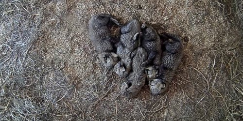 #CheetahCubdate 1: An Introduction to Cuddle Puddles