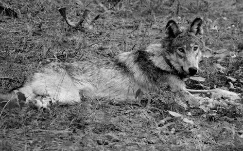 Colorado and California Prepare for More Wolves