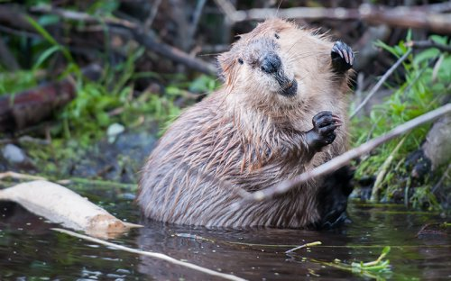 Beavers Are Firefighters Who Work for Free