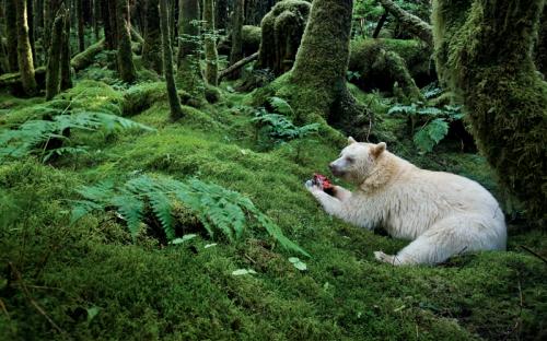 The Spirit Bear