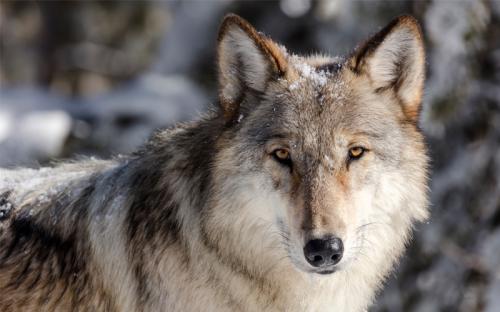 Idaho Legislature Sets Sights on Wolf Extermination