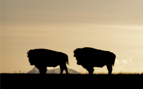 The Bison and the Blackfeet