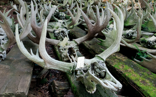 Looking for Moose Skulls at Isle Royale National Park
