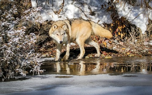 Montana Launches a War on Wolves