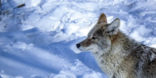 Coyotes are eminently adaptable survivors – another viewpoint