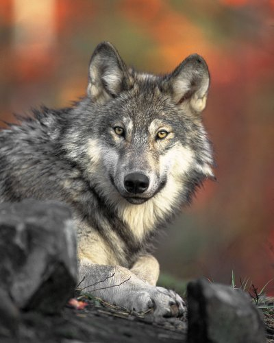Confirmed Wolf-Kill of Livestock in Plumas County Raises Questions of a Second Wolf Pack in California, Promotes Opportunity for Greater Use of Co-Existent Safety Measures