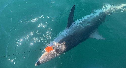 Staten Island fishermen hook 423-pound thresher shark 20 miles off coast of Great Kills Harbor (photos)
