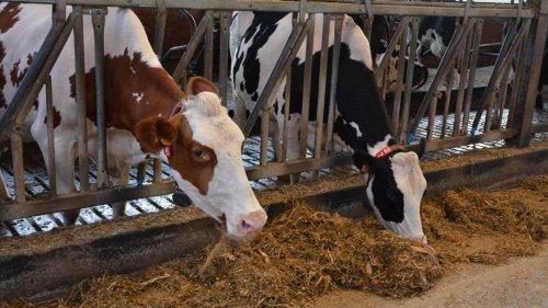 Antibiorésistance: l'élevage reste une source d'inquiétude