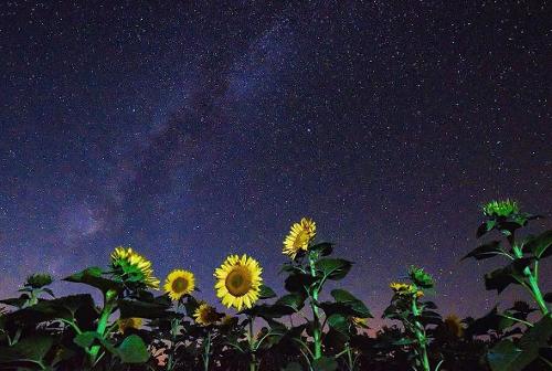Kansas Sunflowers | yellow flowers, fields, pick sunflowers
