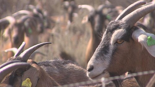 NV Energy uses grazing goats to prevent wildfire threat