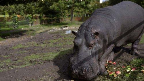 «La première fois, j'étais terrifiée»: des vétérinaires stérilisent les hippopotames de Pablo Escobar