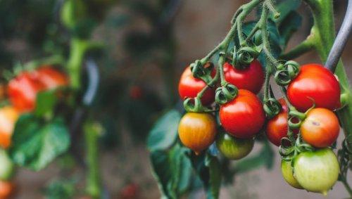 Les tomates peuvent prévenir leurs voisines qu'une attaque est en cours