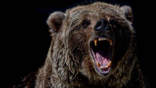 Un ours attaque un cycliste en Alaska, l'homme refuse de lui tirer dessus