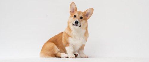 Vous avez adopté un chien pendant la pandémie? Il faut payer, maintenant