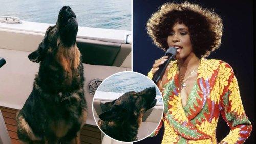 Watch this adorable German Shepherd sing along to Whitney Houston