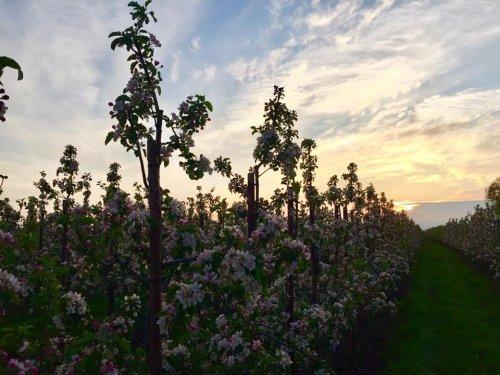 Zur Apfelblüte im Alten Land