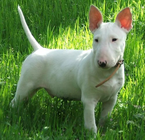 Dog pedigrees unearth genes for psychiatric disease   Spectrum   Autism Research News