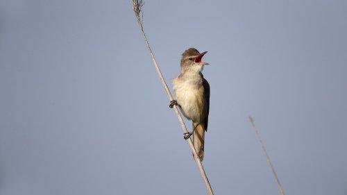 Vogelzug: Kleiner Vogel fliegt in unbekannten Höhen