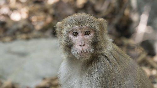 Artenschutz: Wirbelsturm vereinte Affen auf Karibikinsel
