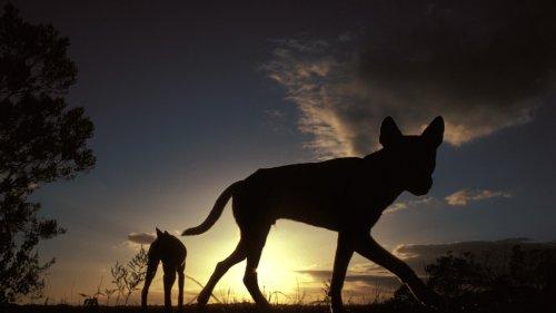 Zoologie: Der mysteriöse Dingo