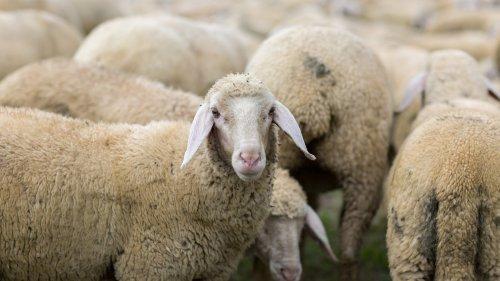 Hemmes mathematische Rätsel: Wie groß ist die Herde?