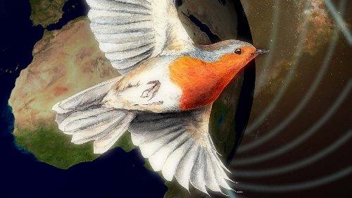 Quanteneffekt: Wie Vögel das Magnetfeld im Auge behalten