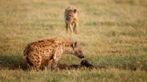 Hyänen im Ngorongoro-Krater: Vom Gruppenzwang am Kraterboden