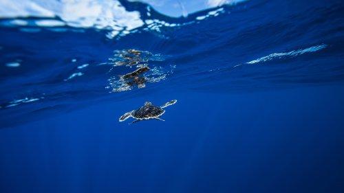 Plastikmüll: Junge Meeresschildkröten zieht es in den Müllstrudel