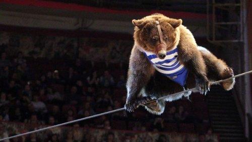 Bei Zirkusvorführung in Russland: Bär greift Dompteurin an