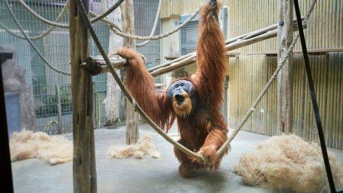 Kontroverse um Orang-Utan-Gehege: Der heftige Streit um das neue Affenhaus im Dresdner Zoo – fünf Perspektiven