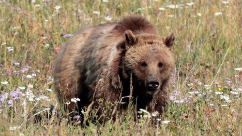 Nationalpark in Kanada: Bergziege tötet Grizzlybärin