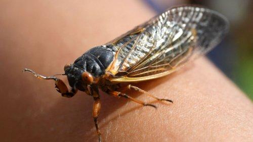Zikadenplage in den USA: Ein tierisches Problem