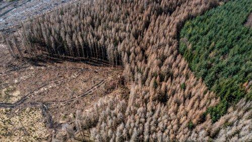 Trockenheit und Borkenkäfer: Der Deutsche Wald schwindet immer schneller