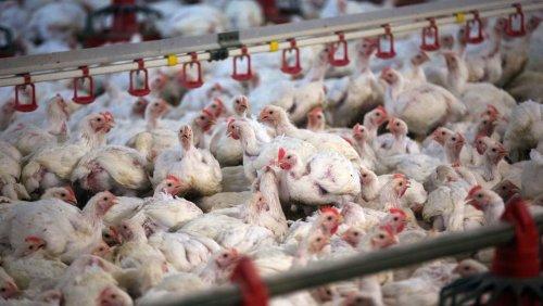 Grünen-Antrag gescheitert: Tiere sollen weiterhin Reserve-Antibiotika bekommen