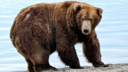 Slowakei: Mann stirbt nach Bärenattacke