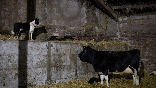 Viehdiebstahl: Landwirte im Vereinigten Königreich beklagen Millionenschaden