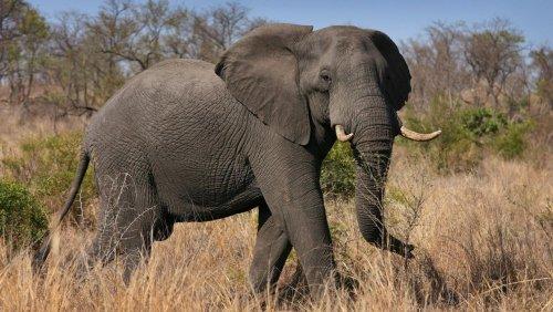 Krüger-Nationalpark: Elefanten trampeln Wilderer zu Tode